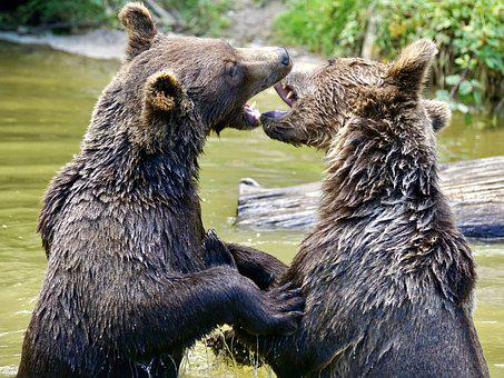 Bear, Brown Bears, Young Bear, Animals, Nature