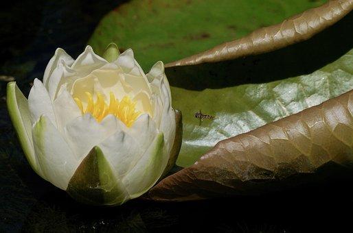 Water Lily, Aquatic Plant, Blossom, Bloom, Lake Rose