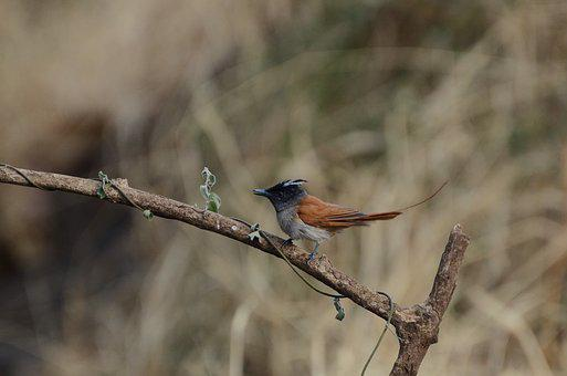 Asian Paradise Fly Catcher, Bird, Nature, Animal
