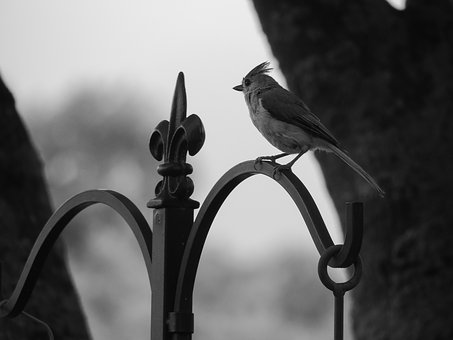 Tufted Titmouse, Black And White, Nature