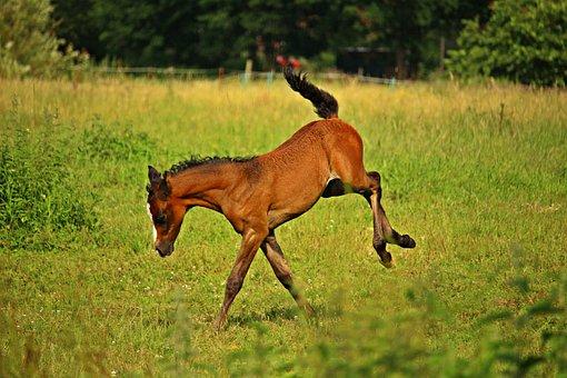 Foal, Horse, Play, Buckler, Brown, Thoroughbred Arabian
