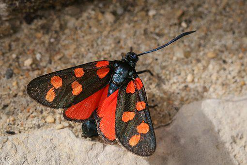 Six Moth, Insect, Butterflies, Butterfly, Red Black