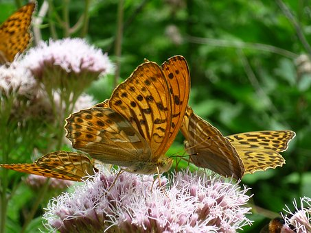 Fritillary, German, Butterfly, Nature