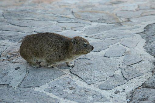 Animal, Rock Rat, The Cape Of Good Hope, Cape Town