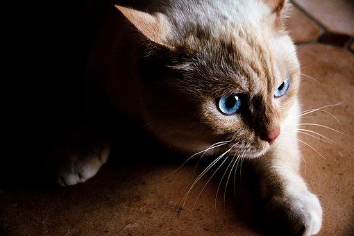 Cat, White, Blue Eye, Pet, White Cat, Adidas