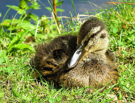 Animal, Nature, Duck, Family, Chicks, Meadow, Grass