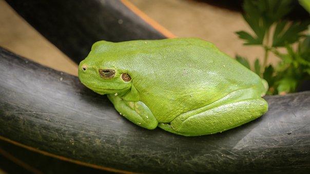 Frog, Tree Frog, Amphibians, Green, Animals