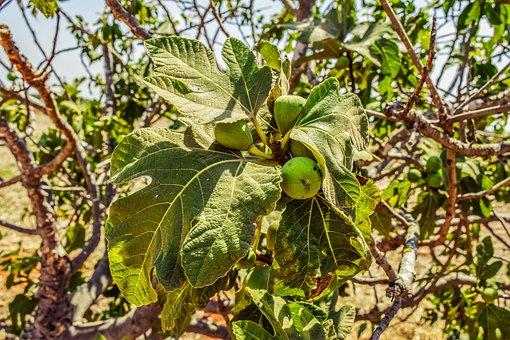 Fig Tree, Leaf, Fruit, Nature, Plant, Summer, Leaves
