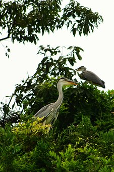 Animal, Wood, Wild Birds, Heron, Gray Heron