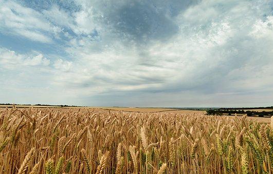Sky, Seed, Landscape, Harvest, Grain, Gold, Cereal