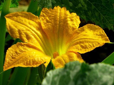 Flower, Pumpkin, Petals, Leaves, Nature, Garden, Yellow
