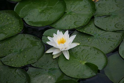 Nature, Plants, Leaf, Lotus Leaf, Tabitha, Lotus, After