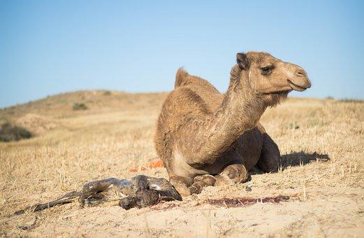 Nature, Camel, Des, Desert, Travel, Mammal, Animal