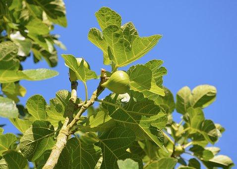 Fig, Fig Tree, Fruit, Summer, Flavor, Nature, Tree