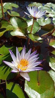 Nymphaea Alba, Purple, Early In The Morning