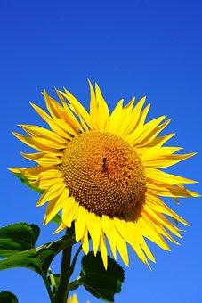 Sun Flower, Blossom, Bloom, Bee, Pollen, Collect