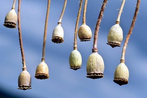 Poppy, Poppy Capsules, Seed Capsules, Mohngewaechs