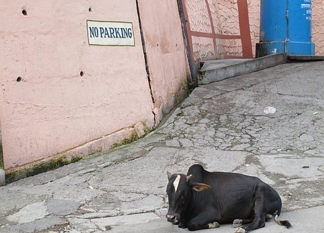 India, Holy Cow, Religion, No Parking, Parking Offender