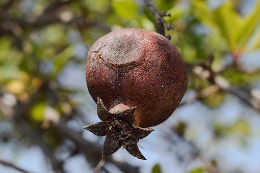 Pomegranate, Fruit, Food, Rotten, Decay, Tree, Plant