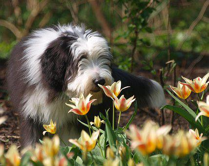Spring, Easter, Bearded Collie