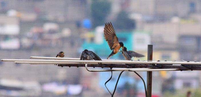 Wild Life, Animals, Wild, Swallows, Birds, Nature