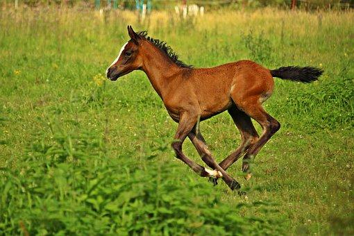 Horse, Foal, Brown, Thoroughbred Arabian, Pasture