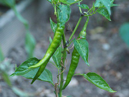 Pepper, Vegetables, Garden, Sharp, Pods, Paprika