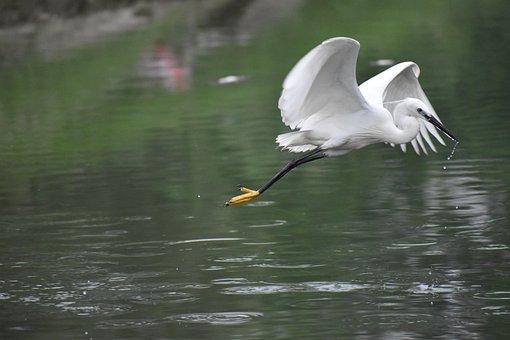 Flying Siberian Crane, White Bird, Huge Wings