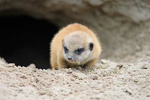 Meerkat, Young, Young Animal, Suricate, Scharrtier