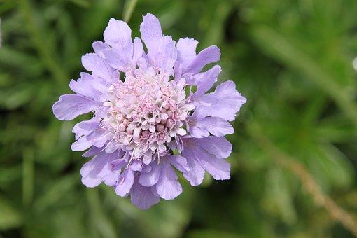 Flower, Alpine, Alpine Flower, Blossom, Bloom, Flora