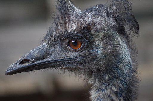 Emu, Face, Bird, Animal, Nelieta, Farm