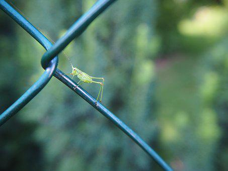 Grasshopper, Insect, Garden, Nature, Animal, Fence
