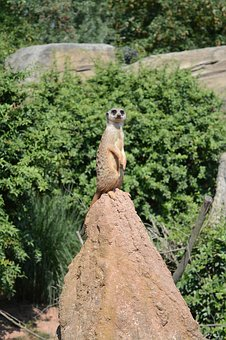Animal, Zoo, Nature, Animal Portrait, Meerkat, Cute