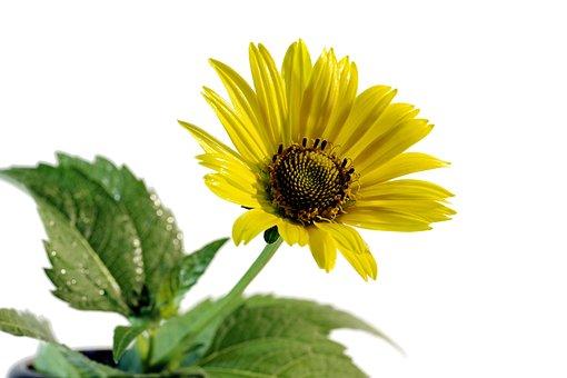 Flower, Yellow, Asteraceae, The Petals, Closeup, Macro