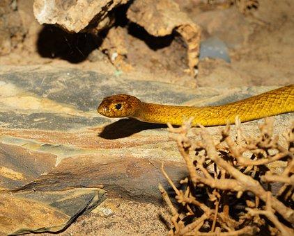 Snake, Inland Taipan, Australia, Animal, Dangerous