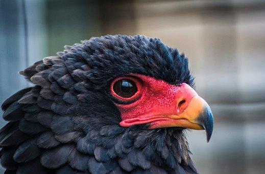Bateleur Eagle, Raptor, Bateleur, Plumage, Africa