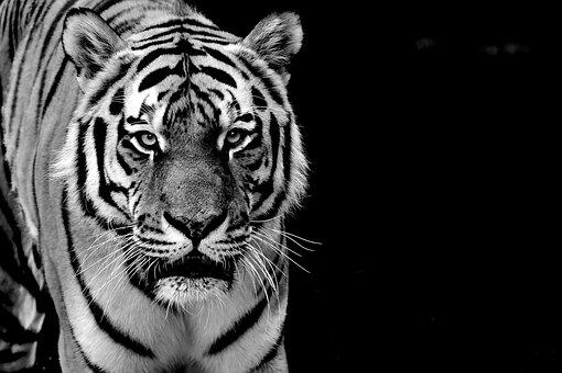 Tiger, Predator, Fur, Black And White, Beautiful