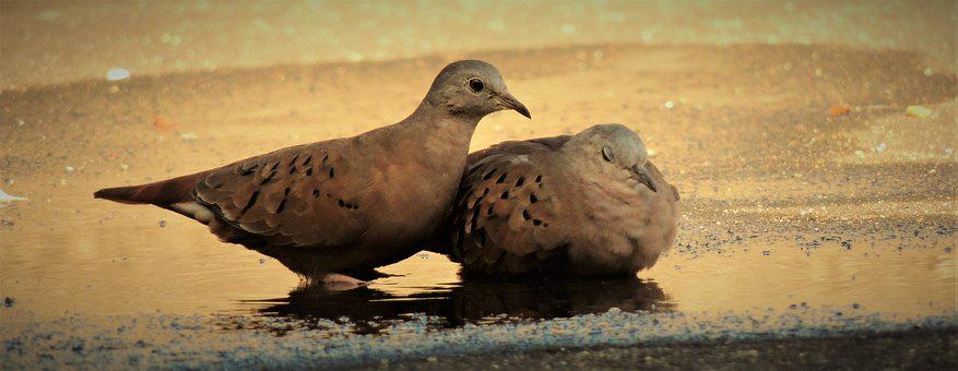 Ruddy Ground Dove, Weasels, Bird, Birdie