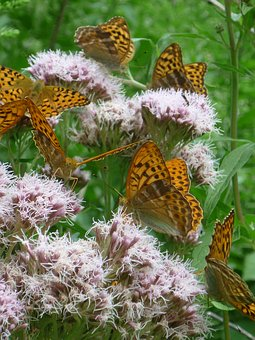 Butterfly Swarm, Bright Pink, Umbels, Nature