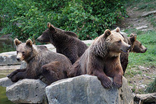 Bear, Brown Bears, Nature, Forest, Zoo, Wildlife Park