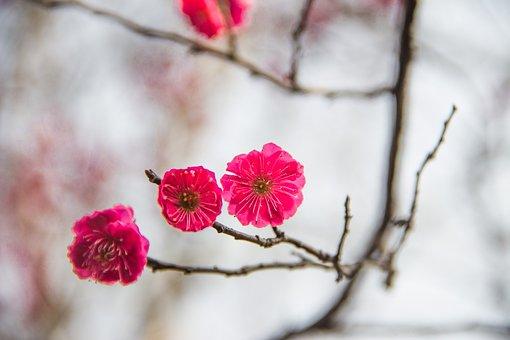 Plum Blossom, Ink, China Wind, Three Flowers Red Plum