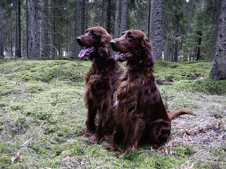 Dog, Irish Setter, Red, Forest