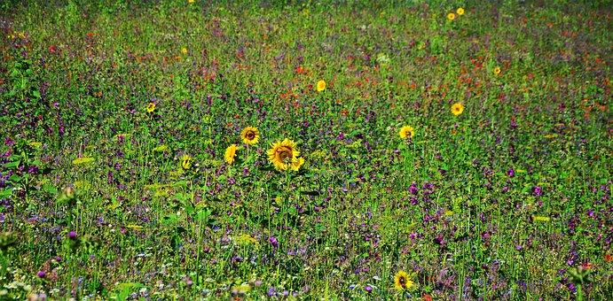 Flower Meadow, Wildflowers, Field, Field Flowers