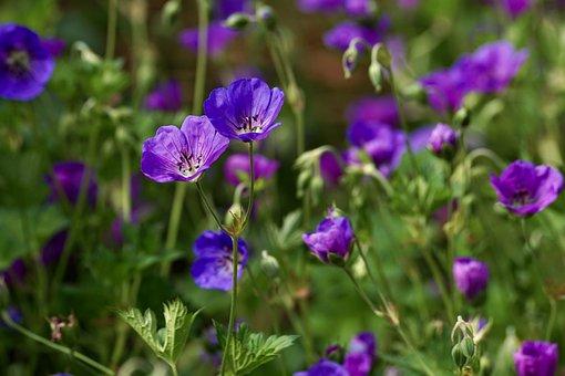Cranesbill, Blossom, Bloom, Flower, Blue, Purple