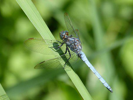 Blue Dragonfly, Leaf, Flying Insect