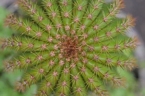 Cactus, Green, Plant, Pinches, Desert, Hawthorn