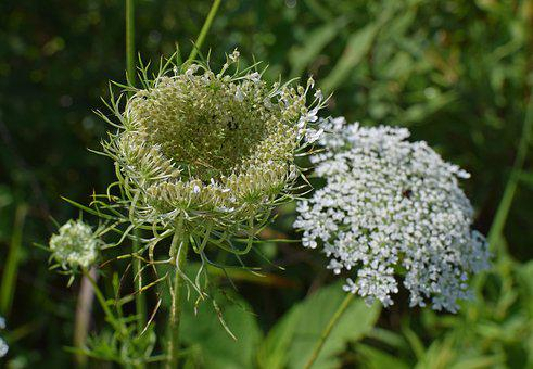 Queen Anne's Lace Bud Opening, Green Lynx Spider