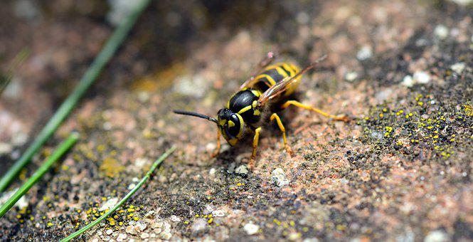 Wasp, Insect, Nature, Close Up, Animal, Garden