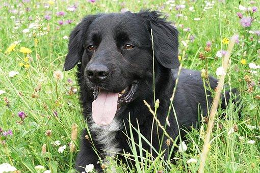 Dog, Hybrid, Pet, Animal, Meadow, Concerns, Black