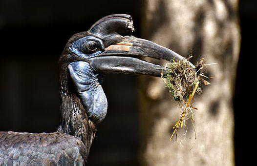 Ground-hornbill, Bird, Feather, Plumage, Zoo, Nature